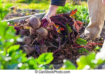 Farmer holding a bunch of beets from his harvest