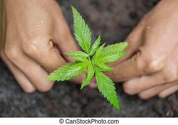 Farmer Holding a Cannabis Plant, Hand gently holding rich soil for his marijuana plants