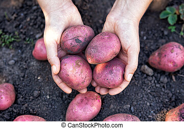 Farmer holding fresh harvested organic potatoes in his hands