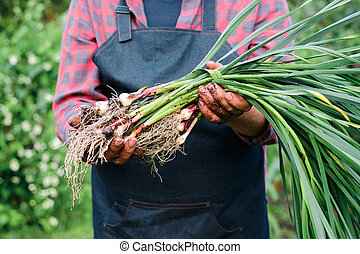 farmer holding in hands harvest of organic fresh garlic