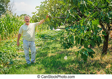 Farmer holding organic figs in his orchard