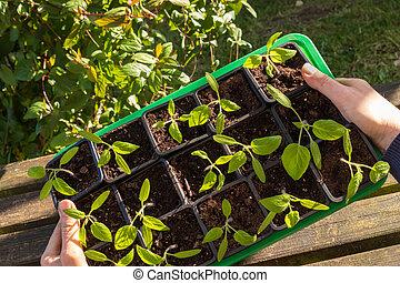 Farmer holding tomatoes seedling