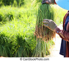 Farmer holds young rice sheaf in hands