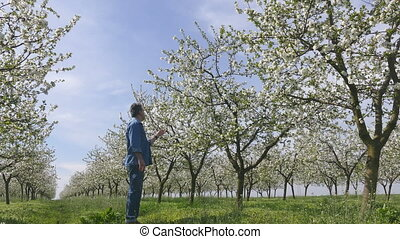 Farmer in blossoming cherry orchard