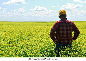 Farmer in Canola Crop - A farmer inspects canola crop. Older...