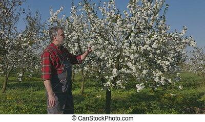Farmer in cherry orchard - Agronomist or farmer examining...