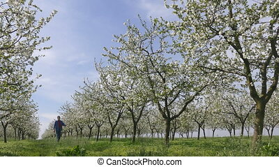 Farmer in cherry orchard in spring