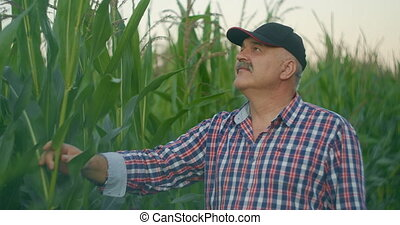 Farmer in corn field tears corn. An elderly man in a straw hat walks a cornfield and checks the future crop. High quality 4k footage