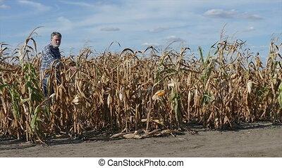 Farmer in corn plant in field after drought - Farmer or...