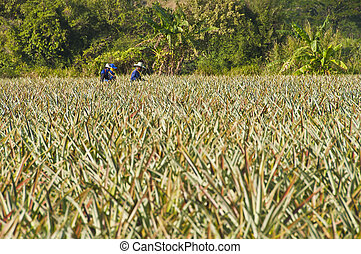 Farmer in pineapple field.