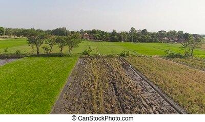 farmer in rice field indonesia - farmer working in rice...