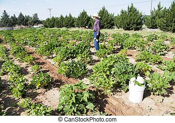 Farmer in Squash Garden - Ninety-One year old Farmer working...