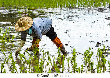 farmer in thailand planting young rice paddy on agriculture area