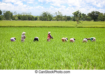 Farmer in the paddy field, Lombok, Indonesia