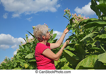 Farmer in tobacco field
