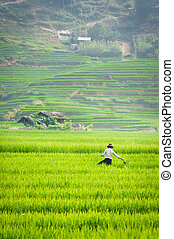 Farmer in Vietnam is growing rice in the terrace -...