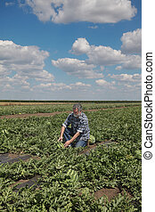 Farmer in watermelon field inspecting crop