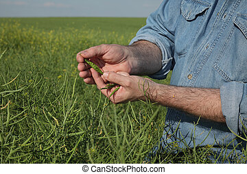 Farmer inspecting and holding rapeseed crop in field