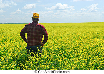 A farmer inspects canola field. Old farmers still refer to this crop as rape or rapeseed.