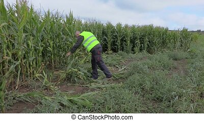 Farmer inspecting corn field