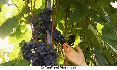 Farmer Inspecting His Ripe Wine Grapes Ready For Harvest. ...