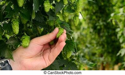 Farmer inspecting hops on the field, closeup - Farmer...