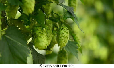 Farmer inspecting hops on the field, closeup - Farmer...