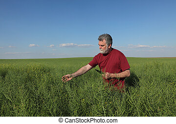Farmer inspecting rapeseed crop in field