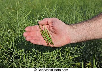 Farmer inspecting rapeseed crop in field