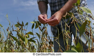 Farmer inspecting soy bean crop - Farmer or agronomist...