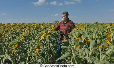 Farmer inspecting sunflower field