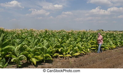 Farmer inspecting tobacco field - Farmer or agronomist...