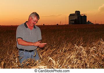 Farmer inspects durum wheat