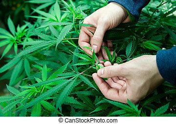 farmer instecting medical marijuana - Farmer inspecting his ...