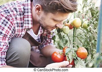 Farmer is admiring ripe tomatoes in greenhouse
