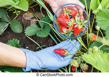 Farmer is picking fresh red ripe strawberries and put them in glass bowl