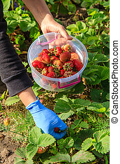 Farmer is picking fresh red ripe strawberries and put them in plastic bowl