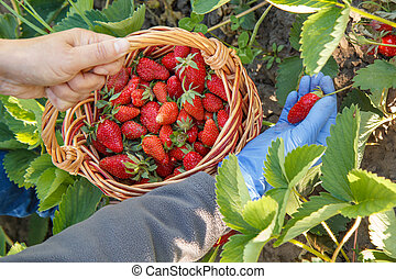 Farmer is picking fresh red ripe strawberries on the bed and put them in wicker basket.