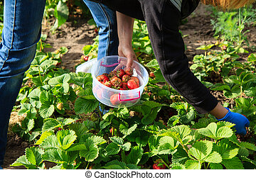 Farmer is picking red ripe strawberries in plastic bowl