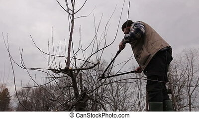 Farmer is pruning branches of fruit trees in orchard using long loppers on ladders