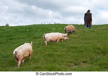 Farmer leading pigs through paddock - farmer walking with ...