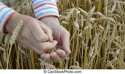 farmer  looking crop grain harvest condition