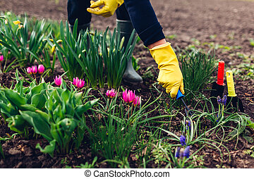 Farmer loosening soil with hand fork among spring flowers in garden. Hobby and agriculture concept