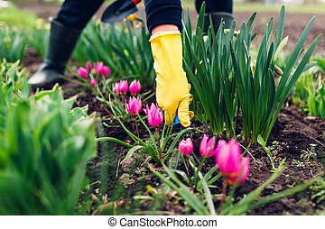 Farmer loosening soil with hand fork among spring tulips flowers in garden. Hobby and agriculture concept