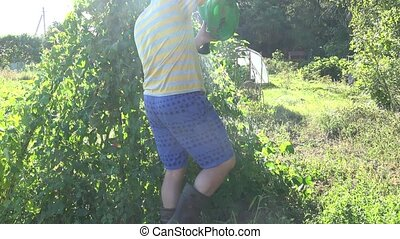 Farmer man boy in shorts watering beans legume plants in...