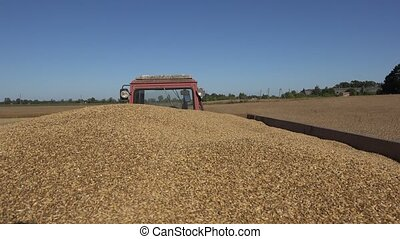 Farmer man hands take handful of wheat grain and pour freshly harvested cereal corns. 4K