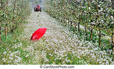 red umbrella in an blossoming apple orchard in april,image of a