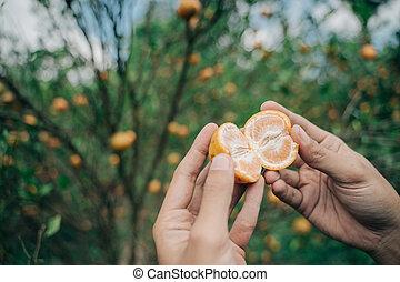 Portrait close up hand male farmer showing fresh orange in an orange tree field