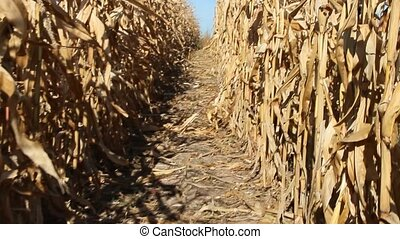 Farmer passing between rows of corn inspecting plantation....