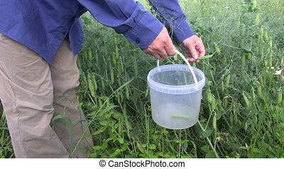 farmer pick fresh pea pod in plastic bucket